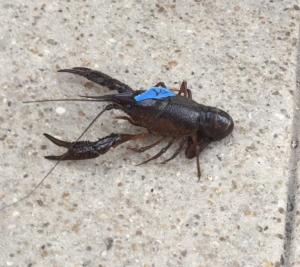 crawfish racing to finish line